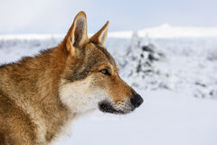Wolf in the snow royalty free stock photo