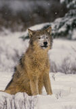 Wolf in Snowstorm. A gray wolf sitting during a winter snowstorm Royalty Free Stock Images