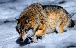Wolf in snowy Bavarian forest. Wolf hunting in deep snow Stock Photo