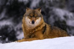 Wolf in snowy Bavarian forest. Wolf laying down in snow Royalty Free Stock Images