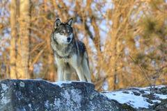 Wolf on a snowy ledge
