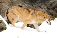 Wolf in snowy rock mountain, Europe. Winter wildlife scene from nature. Snow winter with wolf. Gray wolf, Canis lupus,  portrait w. Wolf in snowy rock mountain Stock Photo