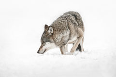 Wolf. A solitary lone wolf prowls through snow Stock Photography