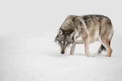 Wolf. A solitary lone wolf prowls through snow with its head hung low watching its potential prey - the photographer Royalty Free Stock Images