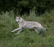 Wolf am Sommer Stockfotos