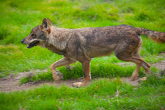 Wolf from spain running motion blur Stock Photography