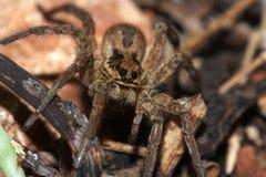 Wolf Spider Immagini Stock Libere da Diritti