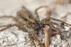 Free Wolf Spider Stock Images - 13625754