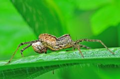 Wolf spider Stock Image