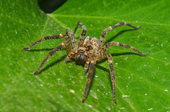 Wolf spider. Rest on the leaf surface Stock Photography