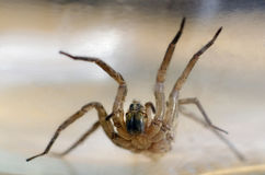 Wolf Spider Royalty Free Stock Photo