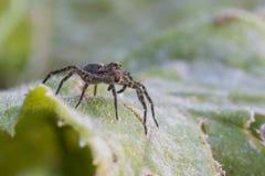 Wolf Spider Royaltyfria Foton