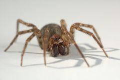 Wolf Spider. On white background Royalty Free Stock Photos