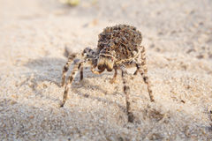 Wolf Spider Stockbild