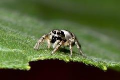 Wolf Spider Fotografia Stock Libera da Diritti