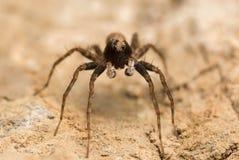Wolf Spider stockfoto