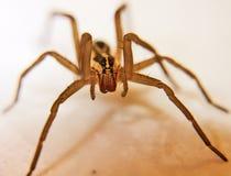 Wolf Spider imágenes de archivo libres de regalías