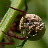 Wolf spider, Alopecosa pulverulenta. Closeup of egg with spiderlings stock photo
