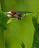 Wolf spider, Alopecosa pulverulenta Stock Photo