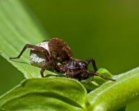 Wolf spider, Alopecosa pulverulenta Stock Images