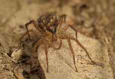 Wolf spider with babies Stock Photography