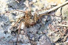 Wolf spider royalty free stock images