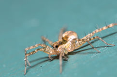 Wolf Spider. On a Blue Surface/Background Royalty Free Stock Images