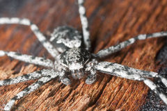 Wolf spider on burnt coal Royalty Free Stock Images