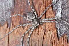 Wolf spider on burnt coal Royalty Free Stock Image