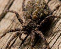 Wolf Spider Carries Babiess Rückseite an stockbilder