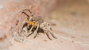 Wolf Spider Carrying Babies Stock Photo