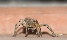 Wolf Spider Carrying Babies Stock Image