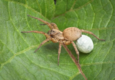 Wolf spider carrying egg case Stock Photo
