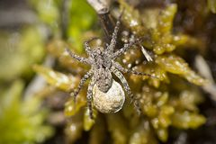 Wolf spider carrying an egg sac on Mt. Sunapee. royalty free stock images