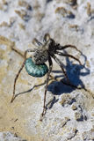 A Wolf Spider carrying her eggs across dried up mud.  Stock Images