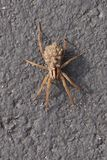 A Wolf Spider carrying her young on her back stock photography
