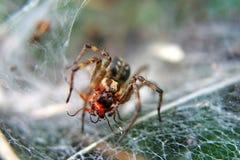 Wolf Spider che si alimenta preda Fotografie Stock Libere da Diritti