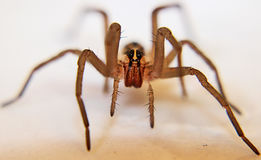 Wolf Spider. Close up and personal with a male wolf spider Royalty Free Stock Photo