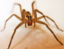 Wolf Spider. Close up and personal with a male wolf spider Royalty Free Stock Images