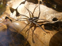 Wolf Spider. Close up of wolf spider on the river bank royalty free stock photos