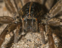 Wolf spider. Close up on it's eyes and chelicerae royalty free stock photos