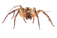 Wolf spider closeup Royalty Free Stock Photography