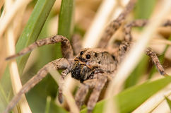 Wolf Spider. Crawling through the Grass Royalty Free Stock Photography