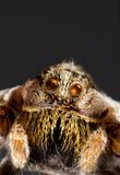 Wolf Spider Cutout. Macro Shoot of Wolf Jumping Spider Stock Photo
