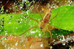 Wolf spider and dew Stock Images