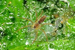 Wolf spider and dew Stock Photography