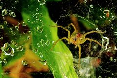Wolf spider and dew Royalty Free Stock Image