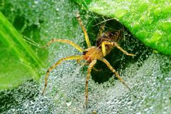 Wolf spider and dew in the park. S Stock Image