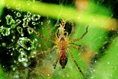 Wolf Spider Eating An Insect In The Park Stock Photography