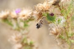 Wolf spider eating a bumble bee. Wolf Spider laying in wait on a thistle plant, snares a bumble bee royalty free stock photo